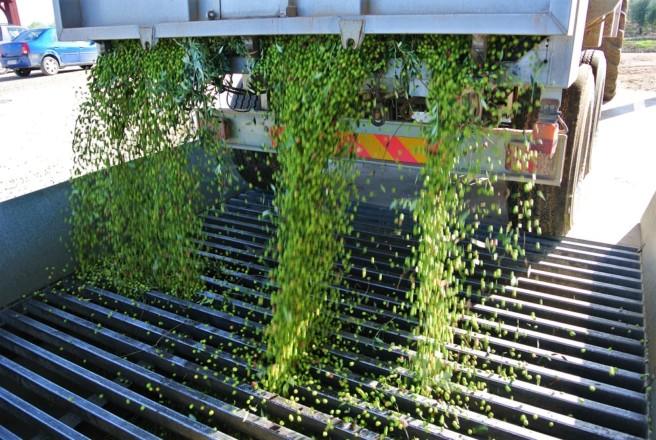 今年もオリーブオイルの新油の季節到来!<br />搾りたてのオリーブオイルをいただく贅沢とアドバイス<br />【オリーブ世界一の国 スペインから】