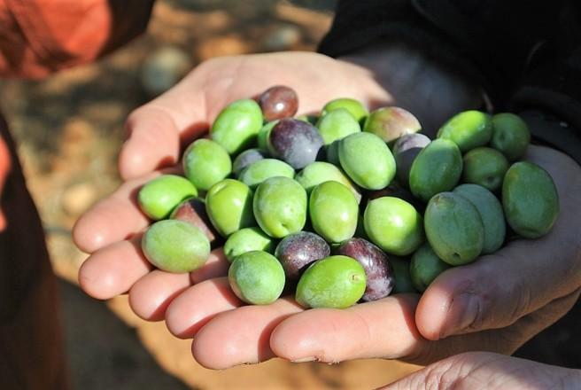 11月のスペインはオリーブ収穫期真っただ中!!生産量世界一の地のオリーブ収穫方法はダイナミック<br />【オリーブ世界一の国 スペインから】
