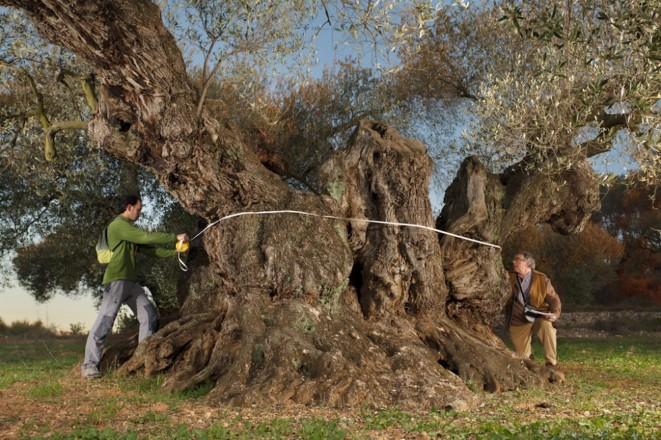 世界でもっとも千年樹が密集する地域でつくられる千年樹の果実だけを搾った希少なオリーブオイルを訪ねて<br /> 【オリーブ世界一の国 スペインから】