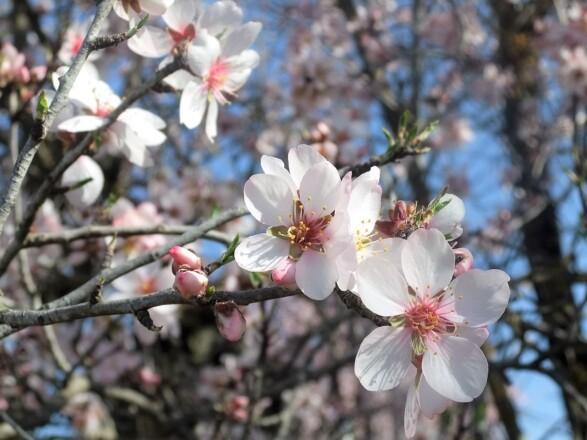 ただいまアーモンドの花が真っ盛り! <br />地中海の恵みオリーブとアーモンドの話<br />【オリーブ世界一の国 スペインから】