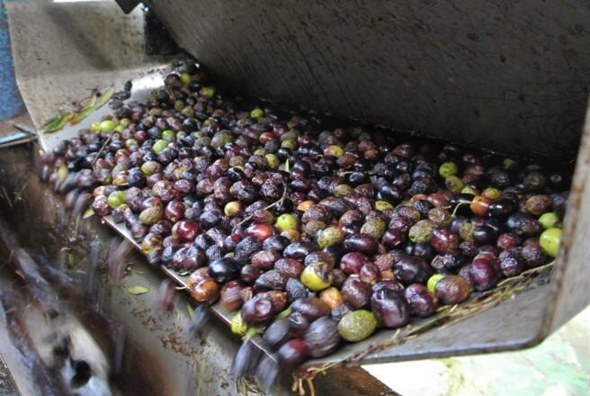 年が明けても収穫されている黒いオリーブの果実は、いったいどんなオリーブオイルになるのか?<br />【オリーブ世界一の国 スペインから】
