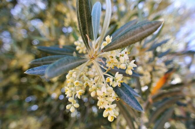 5月は待ちに待った開花の時!<br />白く小さなオリーブの花にまつわるお話 <br />【オリーブ世界一の国 スペインから】